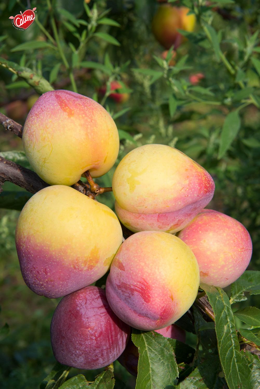 Fruit_Caline_006